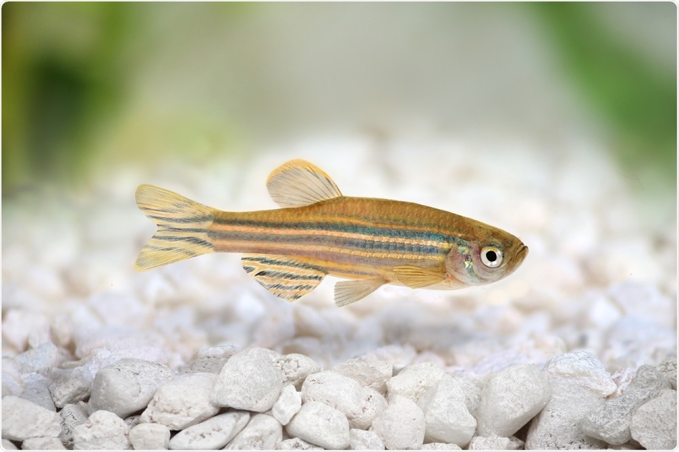 Image credit: https://www.news-medical.net/life-sciences/Zebrafish-as-a-Model-Organism.aspx