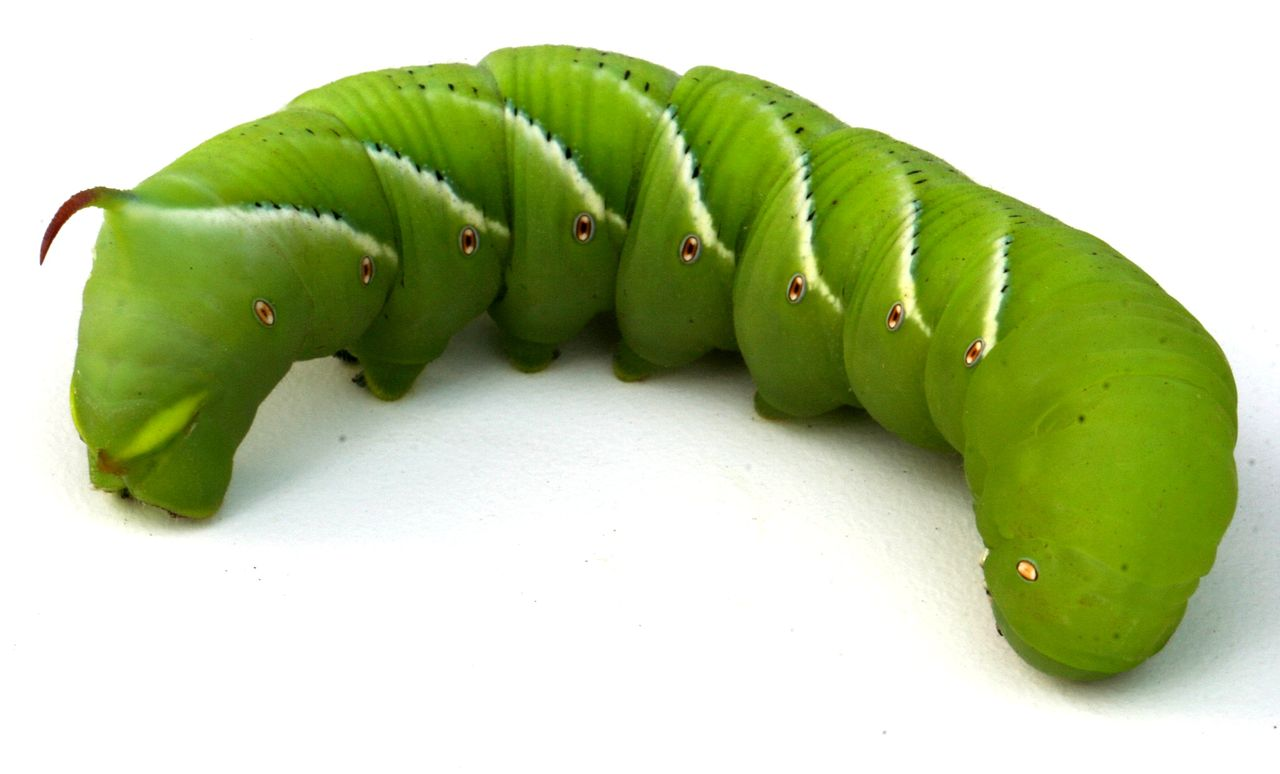 the Tobacco Hornworm